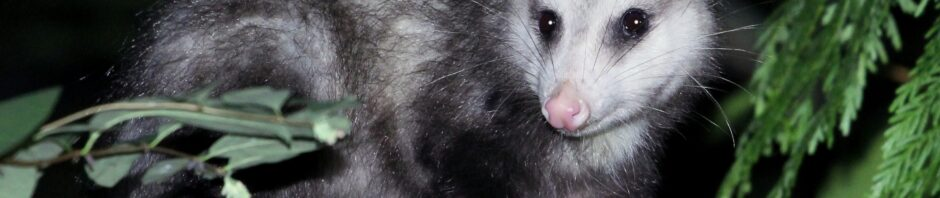 Indianapolis Opossum Removal and Control 317-875-3099