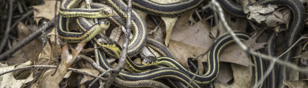 Indianapolis IN Snake Removal and Control 317-875-3099