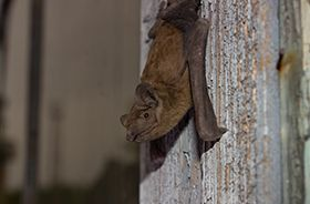 Bat Removal and Control Nashville TN