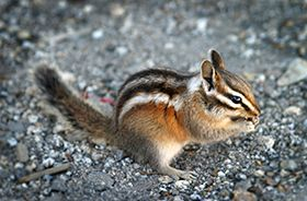 Chipmunk Removal and Control Nashville TN
