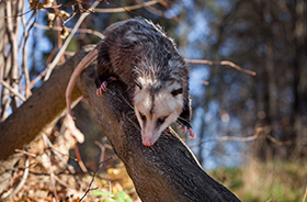 Opossum Removal and Control Nashville TN
