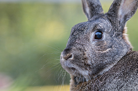 Rabbit Removal and Control Nashville TN