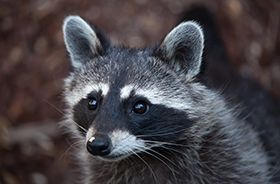 Raccoon Removal and Control Nashville TN
