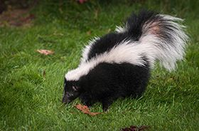 Skunk Removal and Control Nashville TN