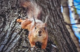 Squirrel Removal and Control Nashville TN