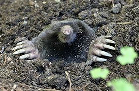 Yard Mole Removal and Control Nashville TN